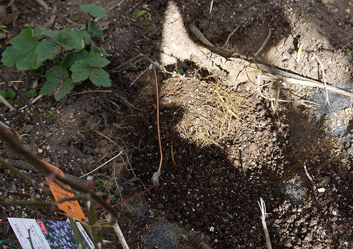 レイニーブルー(ツルバラ)に穴を掘って寒肥をやった。2017年-7.jpg