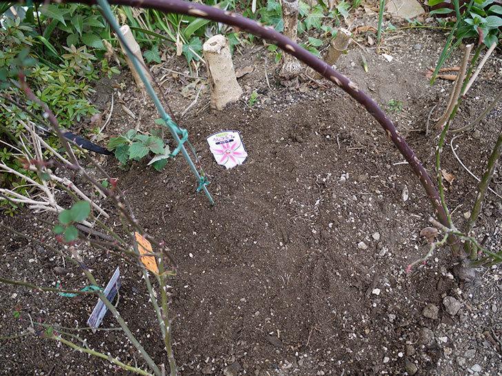 レイニーブルー(ツルバラ)に穴を掘って寒肥をやった。2017年-8.jpg