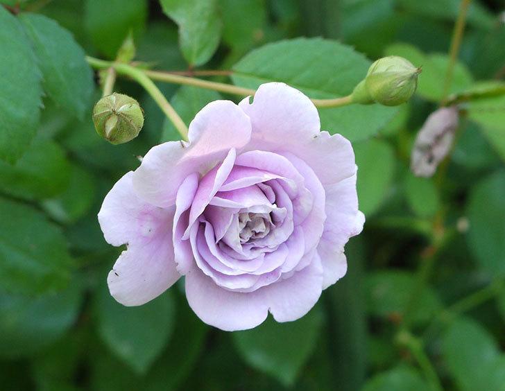 レイニーブルー(ツルバラ)の2個目の2番花が咲いた。2016年-1.jpg
