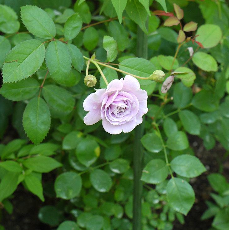 レイニーブルー(ツルバラ)の2個目の2番花が咲いた。2016年-2.jpg