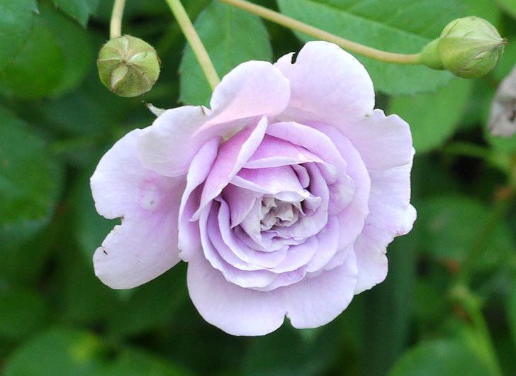 レイニーブルー(ツルバラ)の2個目の2番花が咲いた。2016年-3.jpg