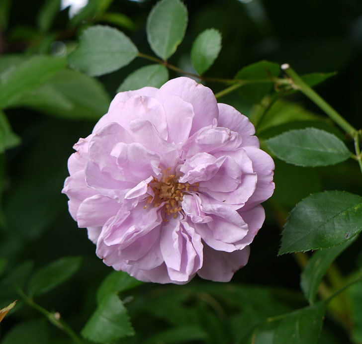 レイニーブルー(ツルバラ)の2番花が咲いた。2016年-1.jpg
