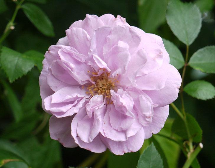レイニーブルー(ツルバラ)の2番花が咲いた。2016年-2.jpg