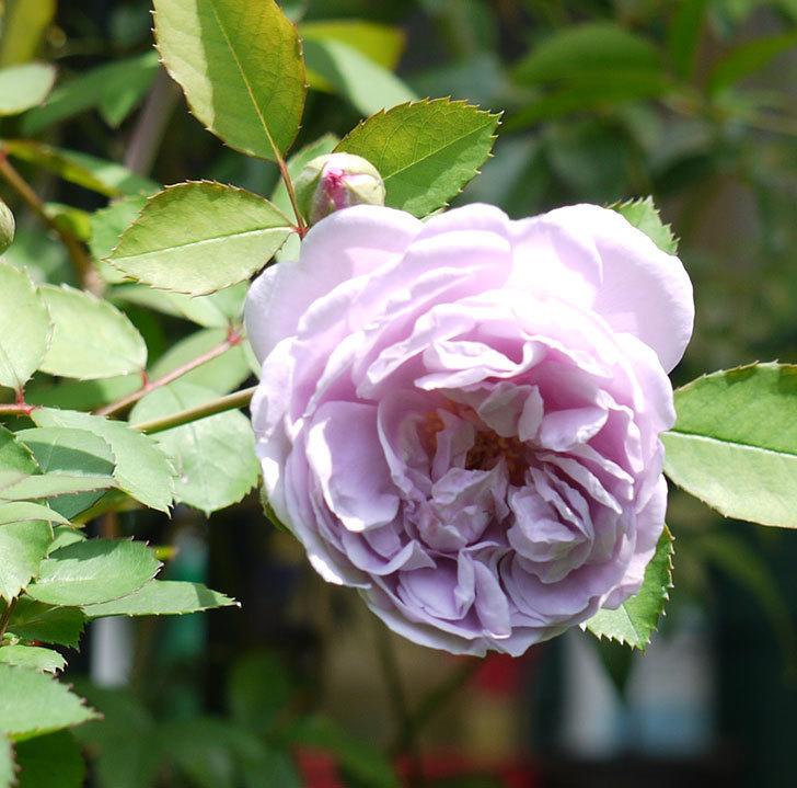 レイニーブルー(ツルバラ)の2番花が咲いた。2017年-1.jpg