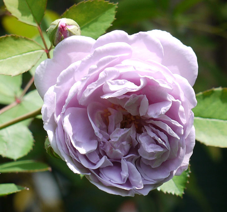 レイニーブルー(ツルバラ)の2番花が咲いた。2017年-2.jpg