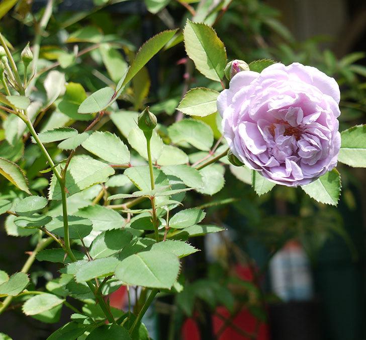 レイニーブルー(ツルバラ)の2番花が咲いた。2017年-3.jpg