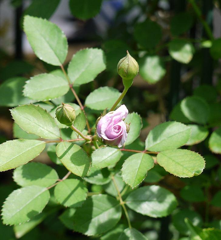 レイニーブルー(ツルバラ)の2番花が咲いた。2017年-4.jpg