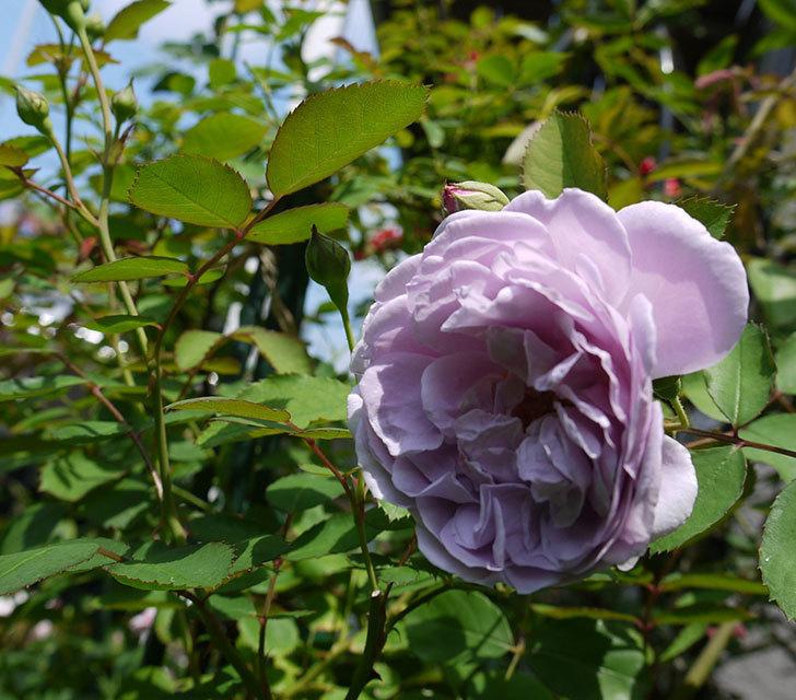 レイニーブルー(ツルバラ)の2番花が咲いた。2017年-5.jpg