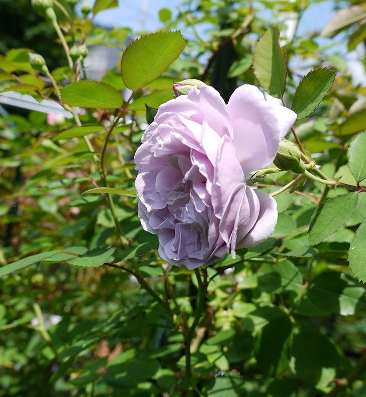 レイニーブルー(ツルバラ)の2番花が咲いた。2017年-6.jpg