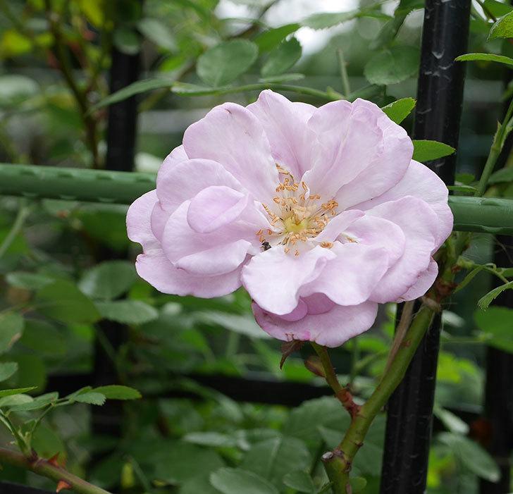 レイニーブルー(ツルバラ)の2番花が咲いた。2018年-1.jpg