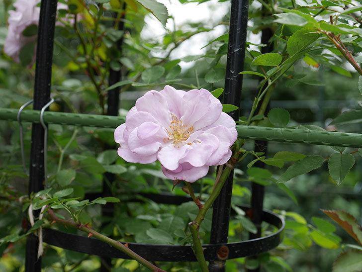 レイニーブルー(ツルバラ)の2番花が咲いた。2018年-2.jpg