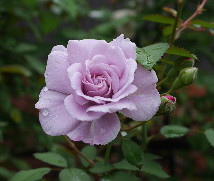 レイニーブルー(ツルバラ)の2番花が咲いた。2019年-1.jpg