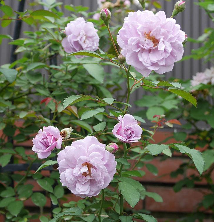 レイニーブルー(ツルバラ)の2番花が増えて来た。2019年-1.jpg
