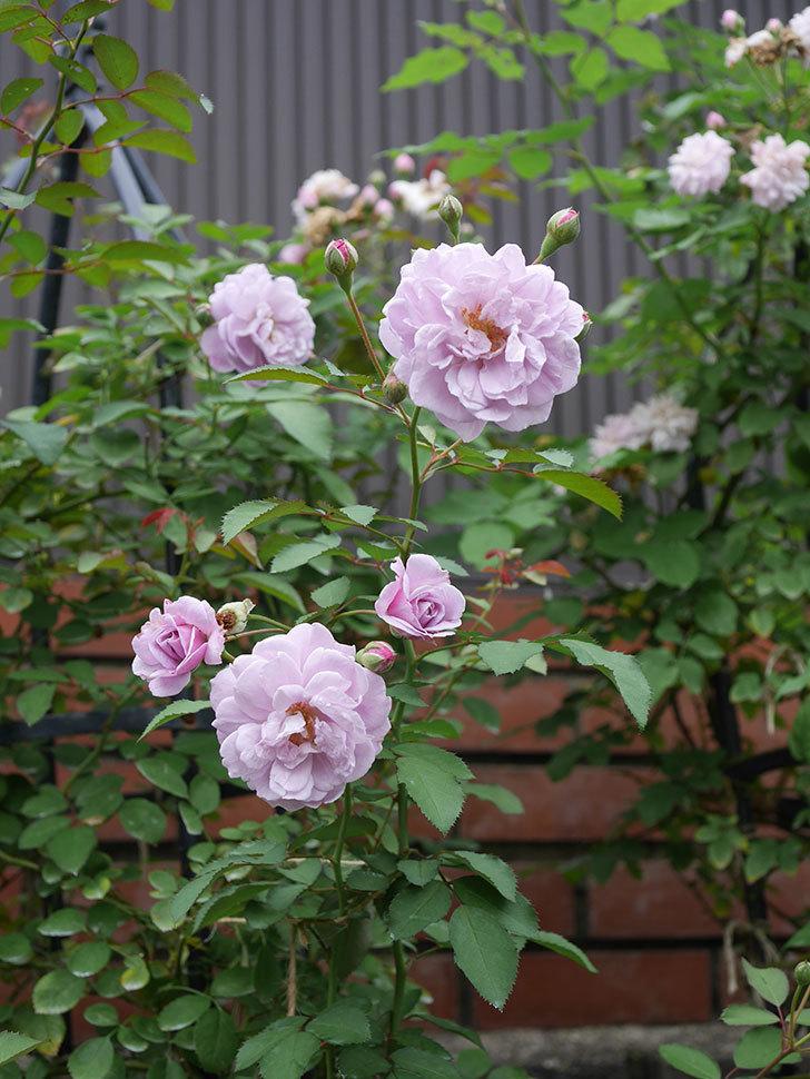 レイニーブルー(ツルバラ)の2番花が増えて来た。2019年-2.jpg