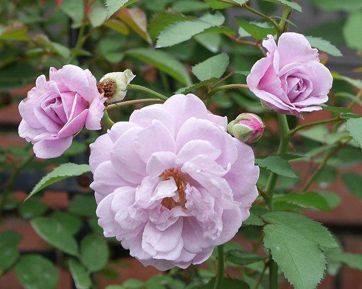 レイニーブルー(ツルバラ)の2番花が増えて来た。2019年-3.jpg