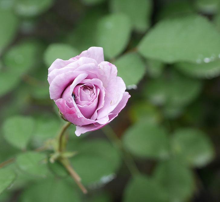 レイニーブルー(ツルバラ)の2番花が増えて来た。2019年-4.jpg