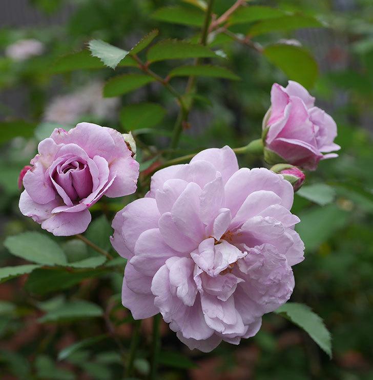 レイニーブルー(ツルバラ)の2番花が増えて来た。2019年-5.jpg