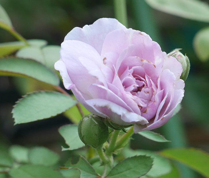 レイニーブルー(ツルバラ)の夏花が咲いた。2019年-2.jpg