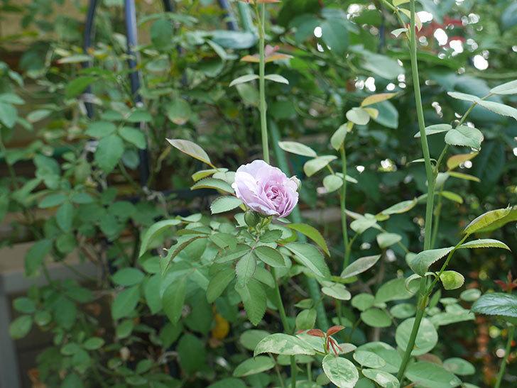 レイニーブルー(ツルバラ)の夏花が咲いた。2019年-3.jpg