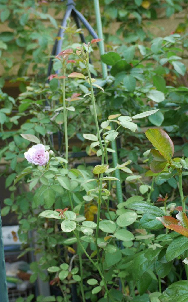 レイニーブルー(ツルバラ)の夏花が咲いた。2019年-4.jpg