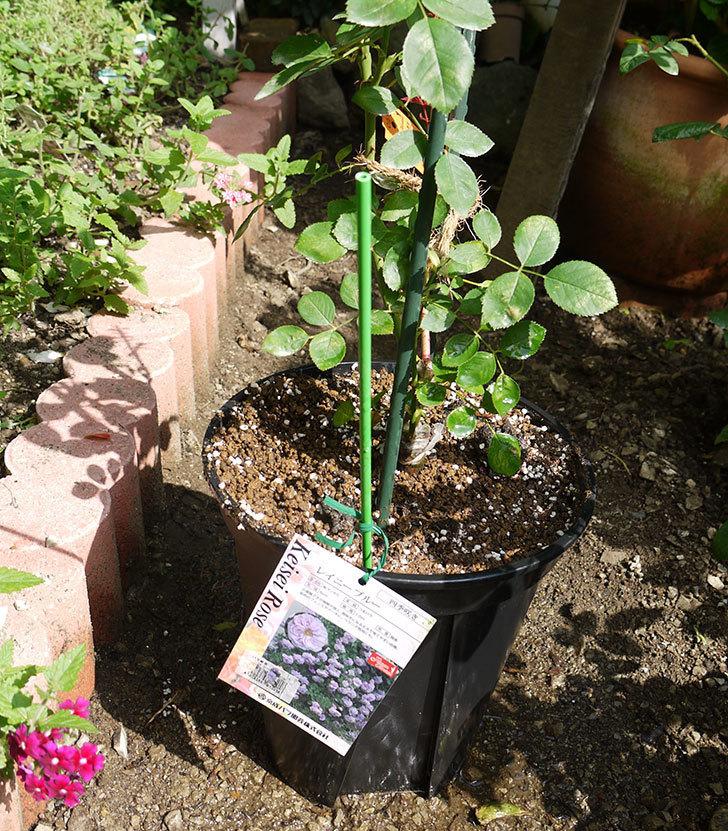 レイニーブルー(ツルバラ)の新苗を8号のEUロングスリット鉢に鉢増しした。2016年-1.jpg