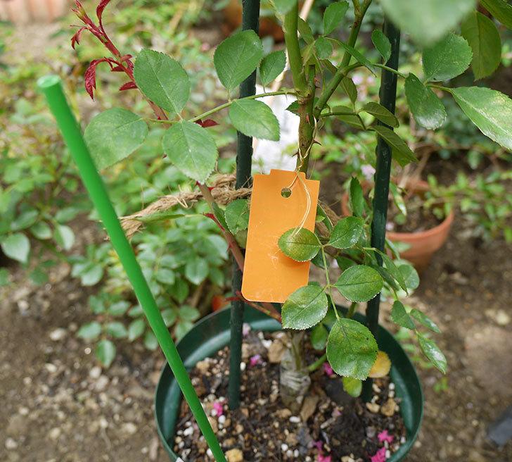 レイニーブルー(ツルバラ)の新苗を8号のEUロングスリット鉢に鉢増しした。2016年-2.jpg