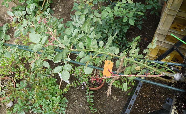 レイニーブルー(ツルバラ)の新苗を8号のEUロングスリット鉢に鉢増しした。2016年-5.jpg