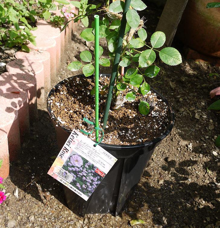 レイニーブルー(ツルバラ)の新苗を8号のEUロングスリット鉢に鉢増しした。2016年-7.jpg