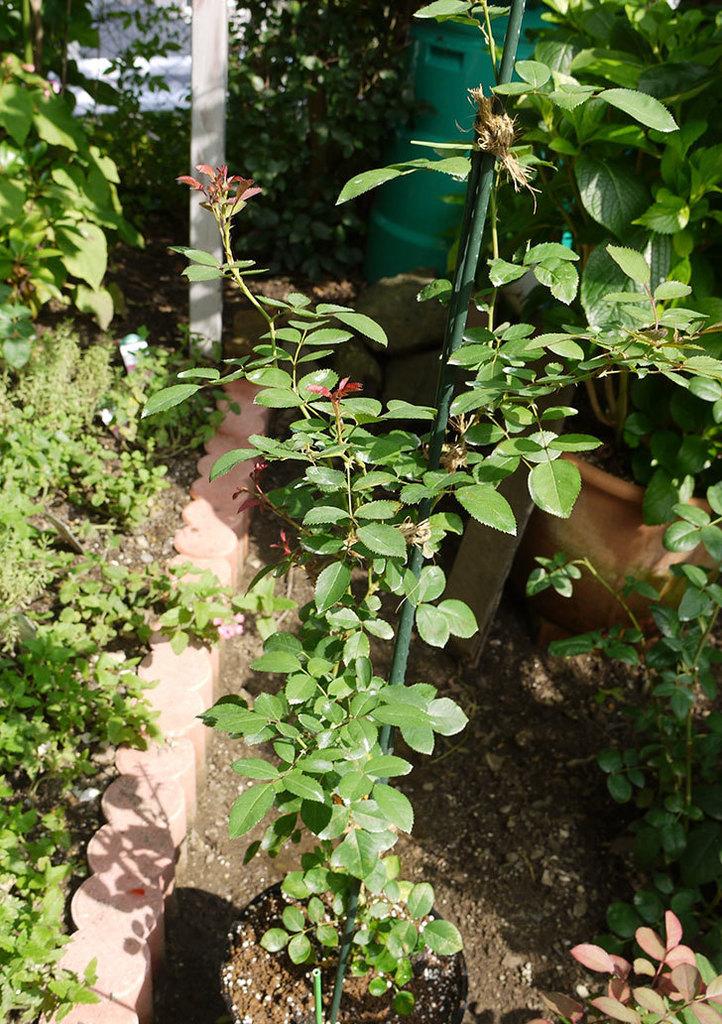 レイニーブルー(ツルバラ)の新苗を8号のEUロングスリット鉢に鉢増しした。2016年-8..jpg