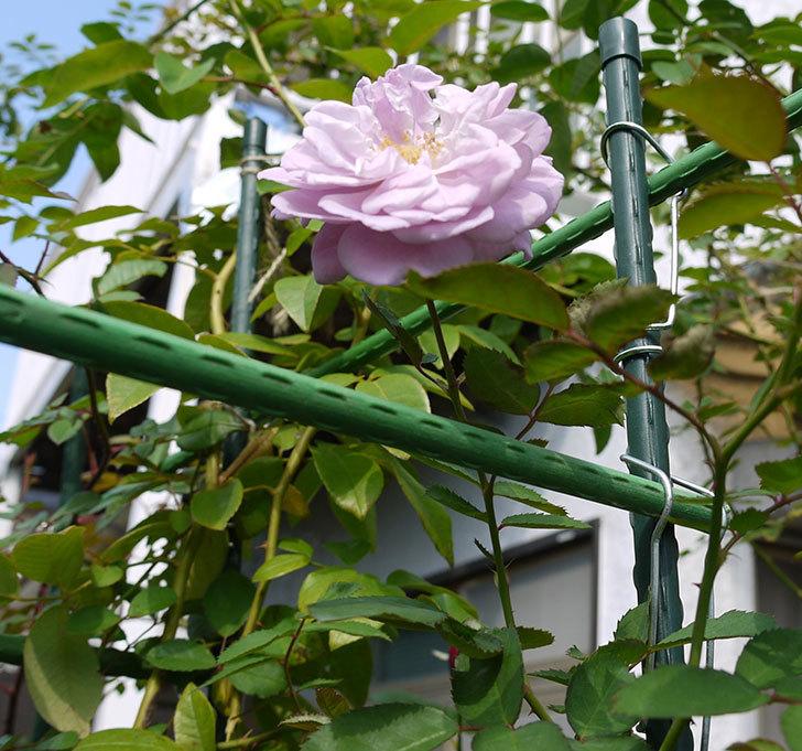 レイニーブルー(ツルバラ)の秋花が咲いた。2016年-3.jpg