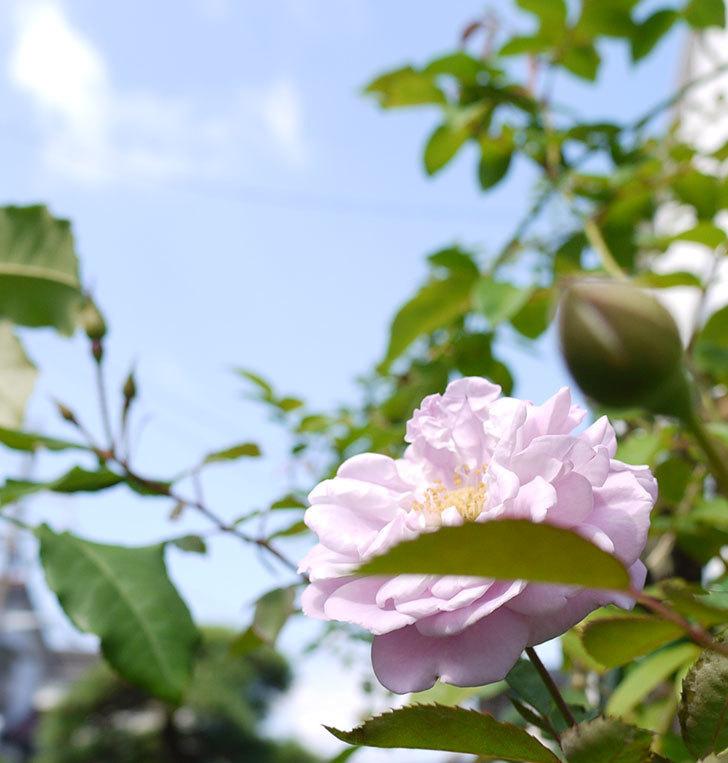 レイニーブルー(ツルバラ)の秋花が咲いた。2016年-4.jpg