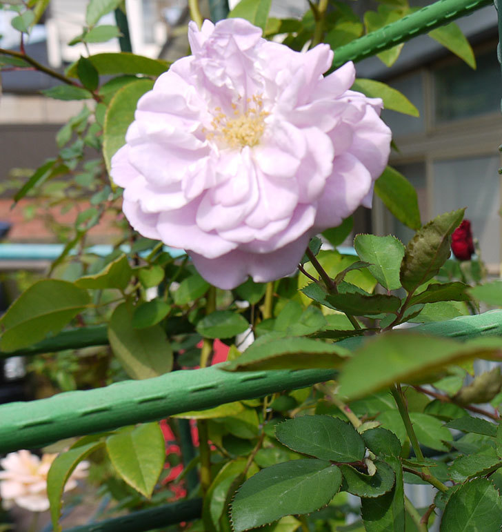 レイニーブルー(ツルバラ)の秋花が咲いた。2016年-5.jpg