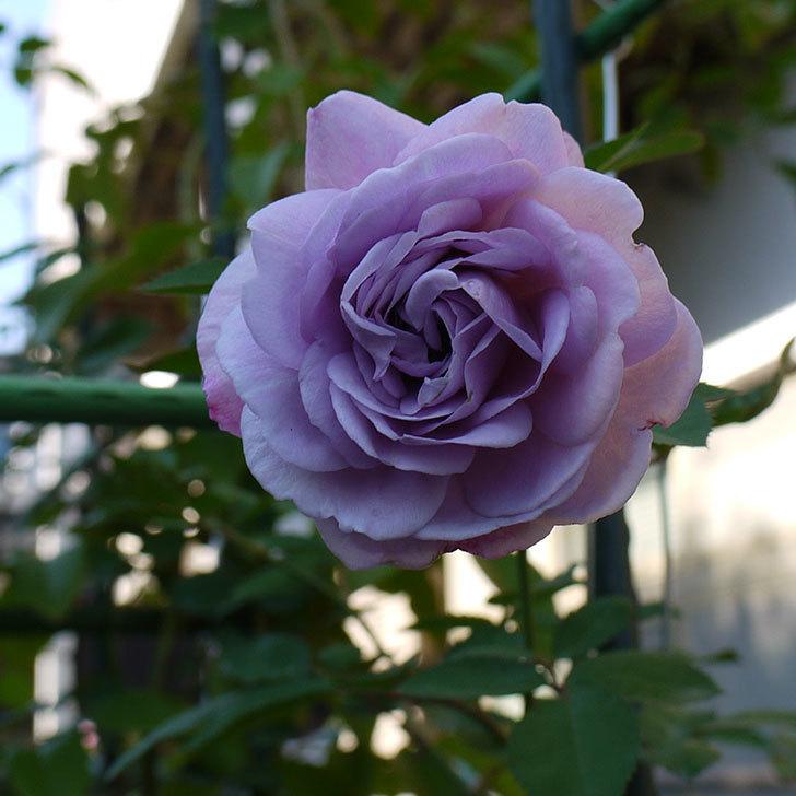 レイニーブルー(ツルバラ)の秋花が綺麗に咲いた。2016年-1.jpg