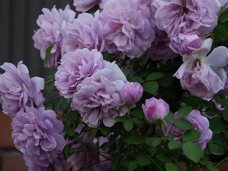 レイニーブルー(ツルバラ)の花がまだ良い感じで咲いている。2020年-001.jpg