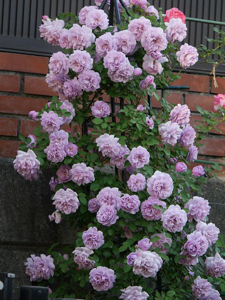 レイニーブルー(ツルバラ)の花がまだ良い感じで咲いている。2020年-002.jpg