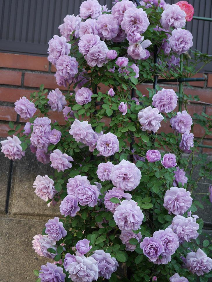 レイニーブルー(ツルバラ)の花がまだ良い感じで咲いている。2020年-003.jpg