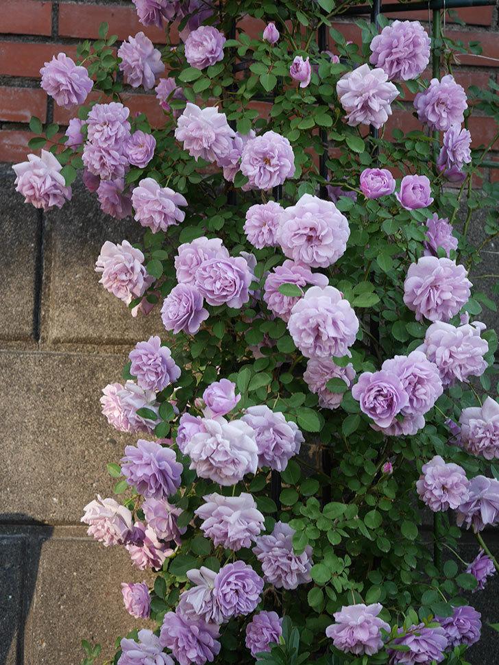 レイニーブルー(ツルバラ)の花がまだ良い感じで咲いている。2020年-004.jpg