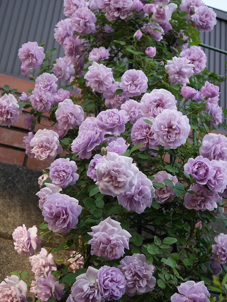 レイニーブルー(ツルバラ)の花がまだ良い感じで咲いている。2020年-005.jpg
