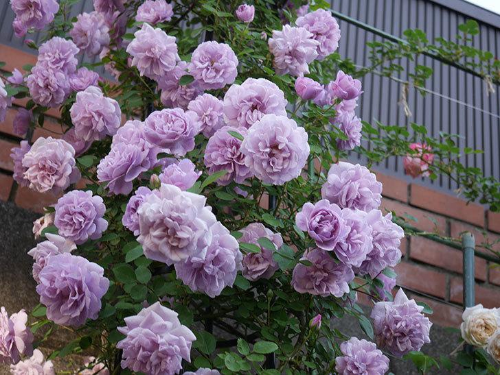 レイニーブルー(ツルバラ)の花がまだ良い感じで咲いている。2020年-006.jpg