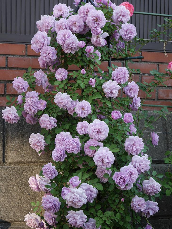 レイニーブルー(ツルバラ)の花がまだ良い感じで咲いている。2020年-007.jpg
