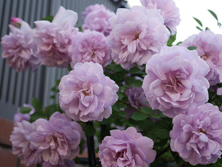 レイニーブルー(ツルバラ)の花がまだ良い感じで咲いている。2020年-008.jpg