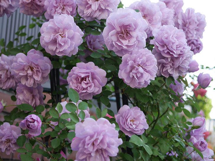 レイニーブルー(ツルバラ)の花がまだ良い感じで咲いている。2020年-009.jpg