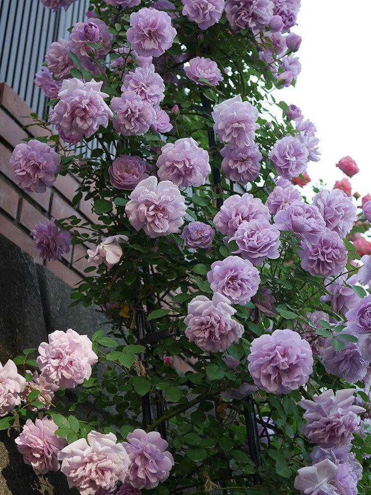 レイニーブルー(ツルバラ)の花がまだ良い感じで咲いている。2020年-010.jpg