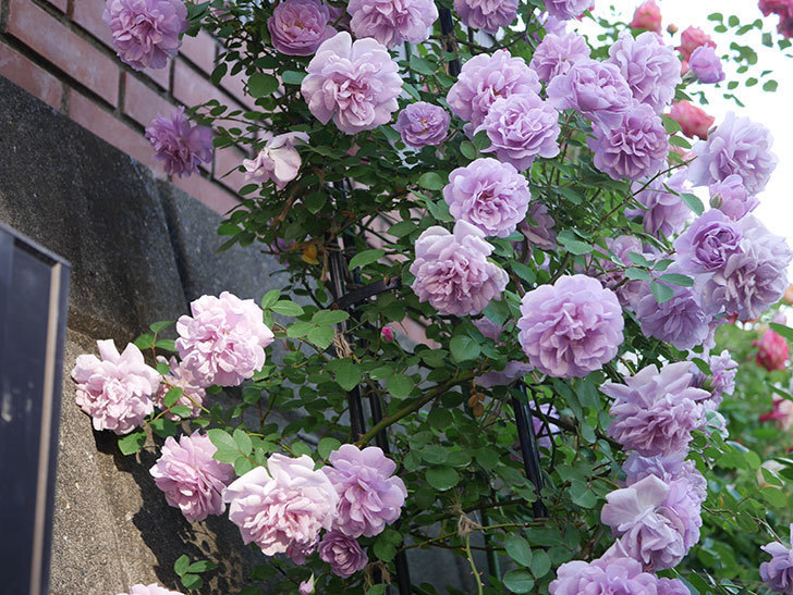 レイニーブルー(ツルバラ)の花がまだ良い感じで咲いている。2020年-011.jpg