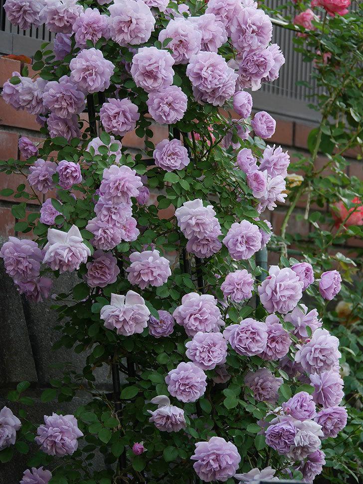 レイニーブルー(ツルバラ)の花がまだ良い感じで咲いている。2020年-013.jpg