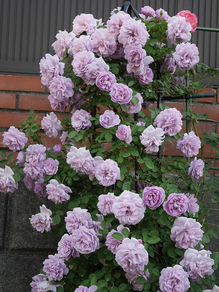 レイニーブルー(ツルバラ)の花がまだ良い感じで咲いている。2020年-015.jpg