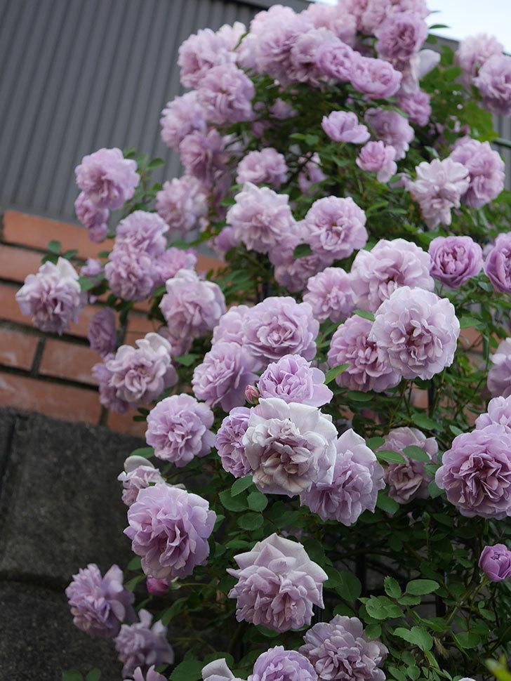 レイニーブルー(ツルバラ)の花がまだ良い感じで咲いている。2020年-016.jpg