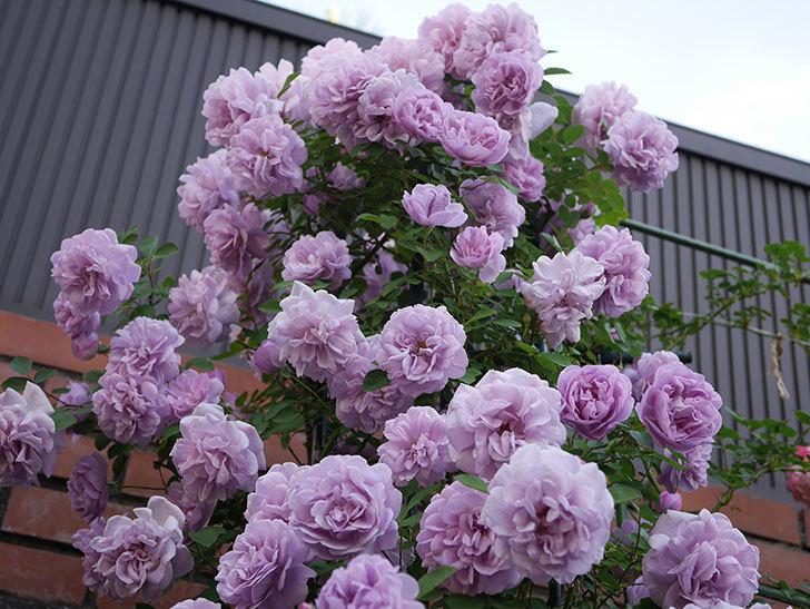 レイニーブルー(ツルバラ)の花がまだ良い感じで咲いている。2020年-017.jpg