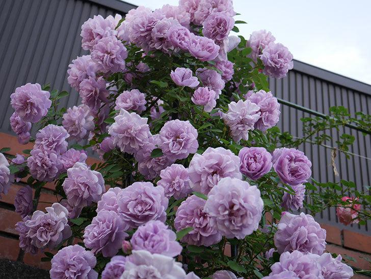 レイニーブルー(ツルバラ)の花がまだ良い感じで咲いている。2020年-018.jpg