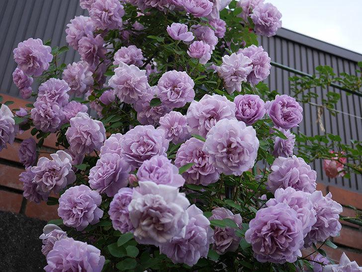 レイニーブルー(ツルバラ)の花がまだ良い感じで咲いている。2020年-019.jpg